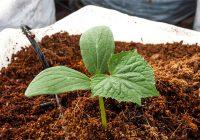 coco peat planting media treatment