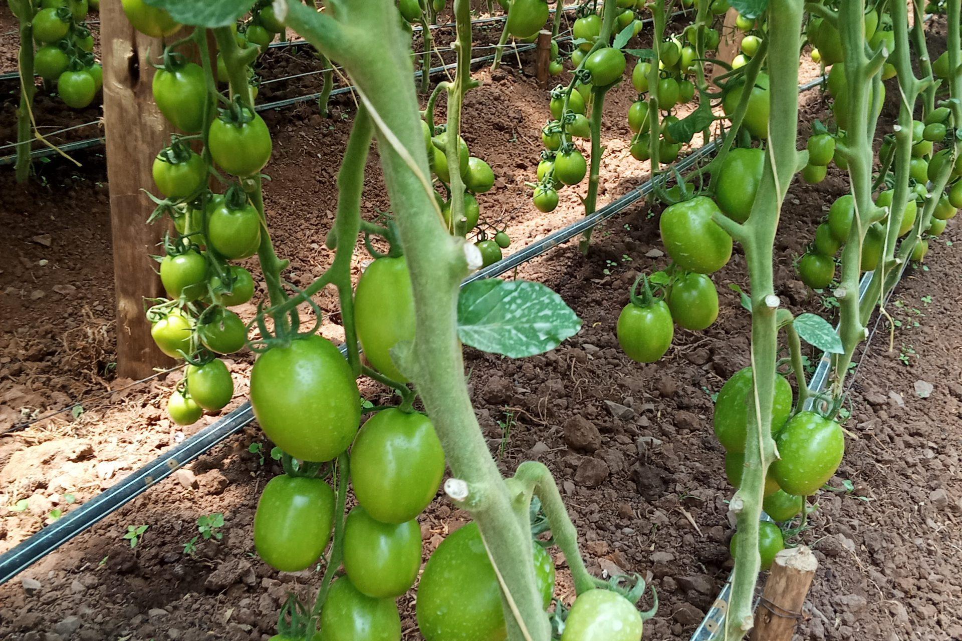 Tomato Drip Irrigation Kits
